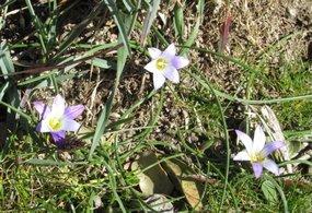 Foto-Algarve Flora der Scheinkrokus