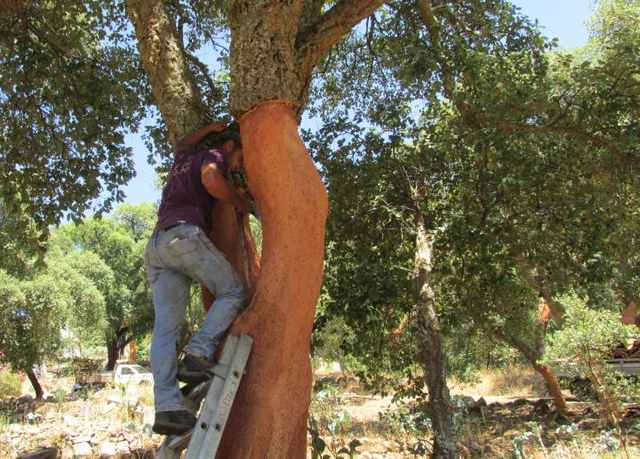 Foto-Algarve-Flora-Korkeichenschäler