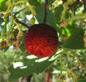 Foto-Erdbeerbaumfrucht