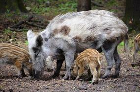 Foto: Wildschweine