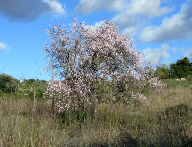 Foto: Die Mandelblüte der Algarve im Januar