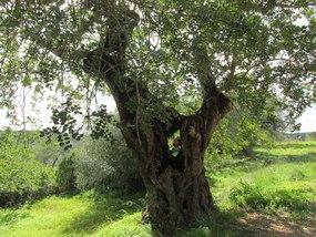 Foto: Johannisbrotbaum bei der Wanderung am Rocha da Pena
