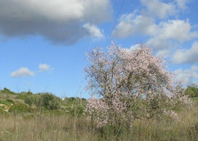 Wetter-Algarve-Januar-Mandelbaum