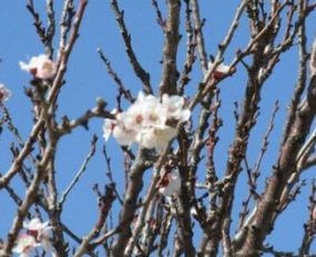 Wetterbericht-Algarve-März-Mandelbaumblüte