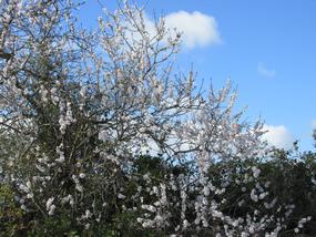 Wetter an der Algarve im Januar, ein blühender Mandelbaum