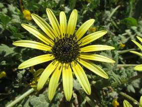 Flora an der Algarve