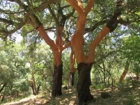 Kultur Land und Leute der Algarve, der Korkeichenschäler