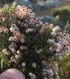 Im Hinterland der Algarve, die Baumheide Erica arborea