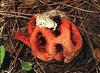 Roter Gitterling Clathrus ruber