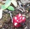 Die Flora der Algarve, der Zistrosenwürger Cytinus hypocistis