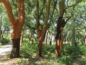 Korkeiche im Hinterland der Algarve